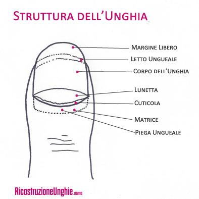 struttura unghia